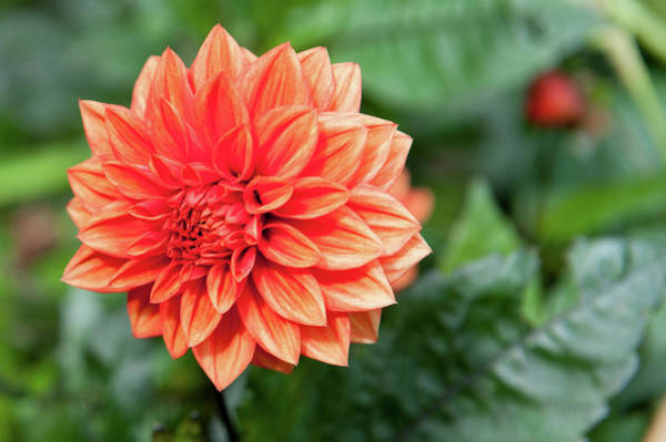 Photograph - Orange Dahlia by Helen Northcott