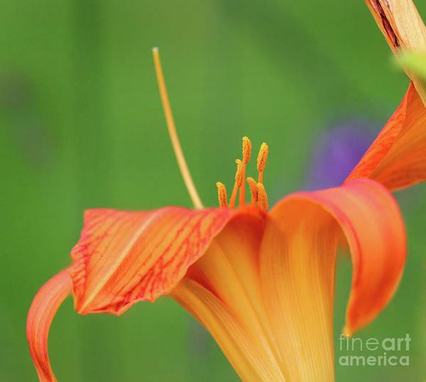 Photograph - Orange Daylily Macro by Karen Adams