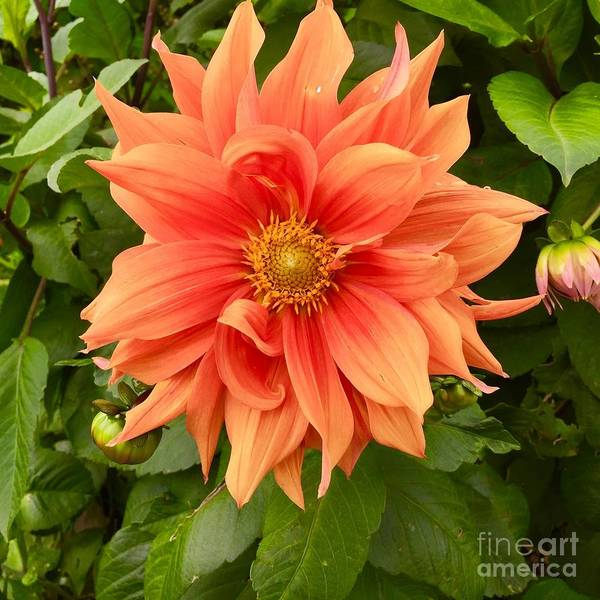 Photograph - Orange Delight by Suzanne Lorenz