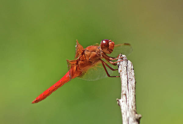 Wall Art - Photograph - Orange Dragonfly Holding On I by Linda Brody