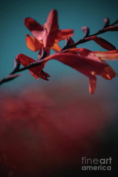 Photograph - Orange Flower 2 by Marc Daly