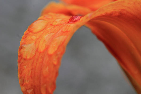Tigerlily Wall Art - Photograph - Orange Flower After The Rain by Angela Murdock