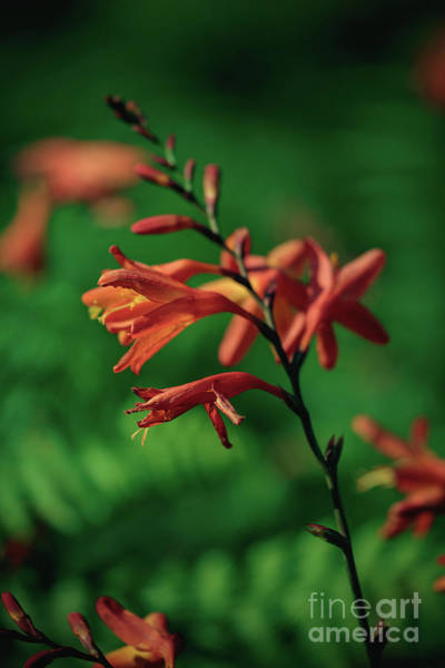 Photograph - Orange Flowers 4 by Marc Daly