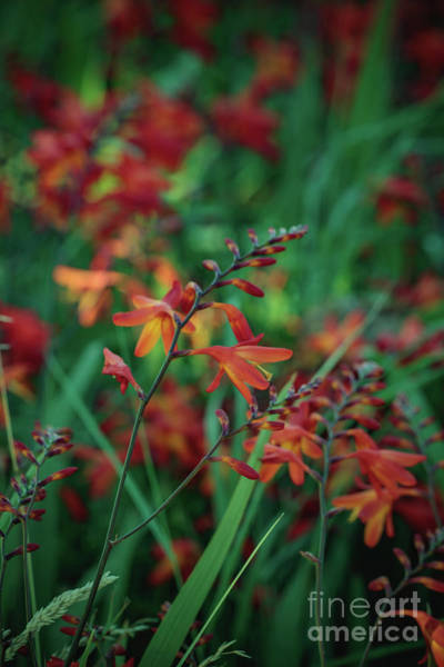 Photograph - Orange Flowers 8 by Marc Daly