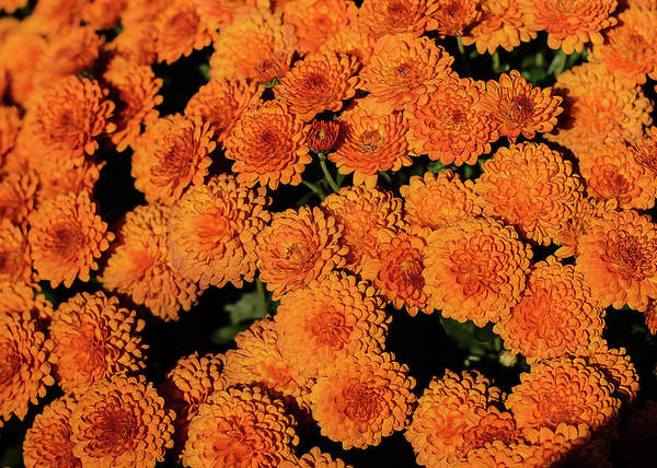 Photograph - Orange Flowers by Tom Potter