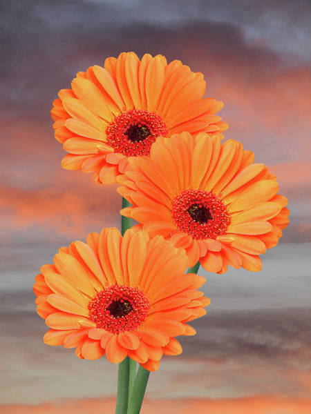 Wall Art - Photograph - Orange Gerbera Daisies At Sunset by Gill Billington