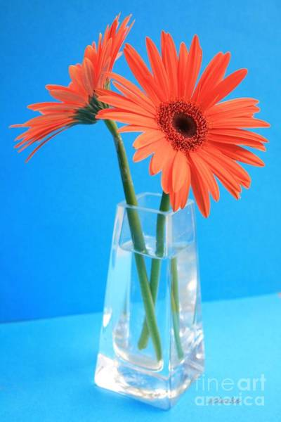 Photograph - Orange Gerberas In A Vase - Aqua Background by Jean Clarke