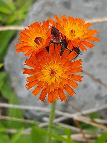 Photograph - Orange Hawkweed by Michael Graham