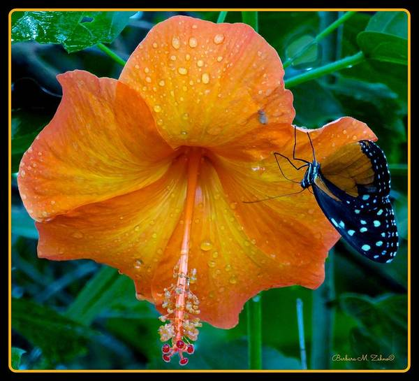 Fleur Digital Art - Orange Hibiscus by Barbara Zahno