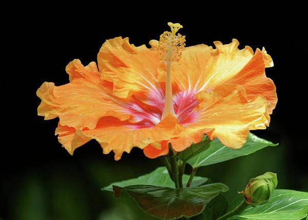 Mallow Family Wall Art - Photograph - Orange Hibiscus - Flower by Nikolyn McDonald