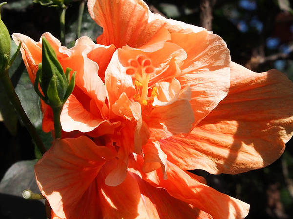 Photograph - Orange Hibiscus-ruffles by Karen Zuk Rosenblatt