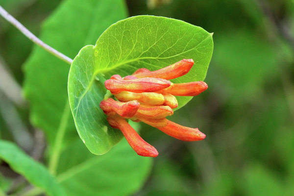 Caprifoliaceae Photograph - Orange Honeysuckle, Fitton Green Natural Area, Corvallis, Oregon by Robert Mutch