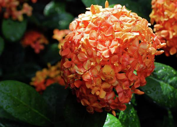 Photograph - Orange Ixora In Rain by Connie Fox
