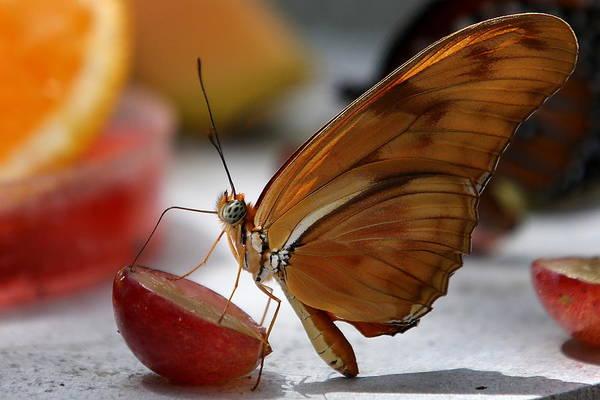 Photograph - Orange Julia Butterfly by Debi Dalio