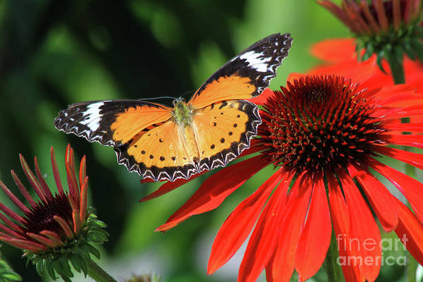 Photograph - Orange Lacewing by Paula Guttilla