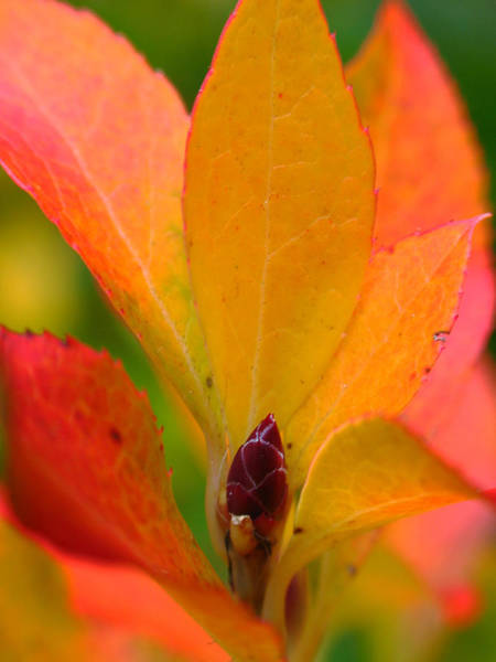 Photograph - Orange Leaves by Juergen Roth