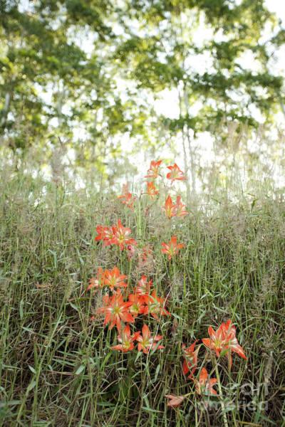 Photograph - Orange Lilies Along Hamakua Coast by Charmian Vistaunet