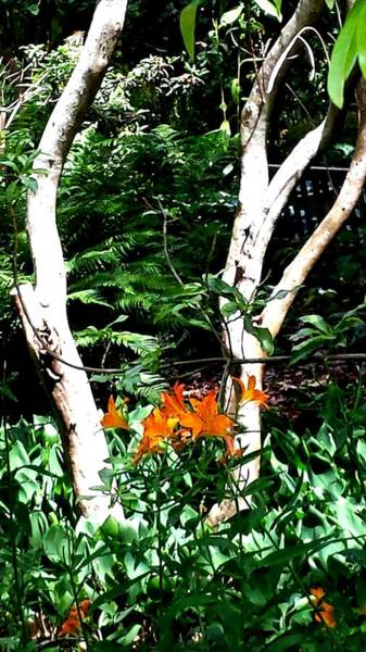 Photograph - Orange Lilies by Nikki Dalton