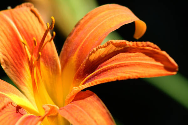 Tigerlily Wall Art - Photograph - Orange Lily by Deana Connell