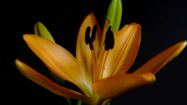 Photograph - Orange Lily Four by Beth Akerman