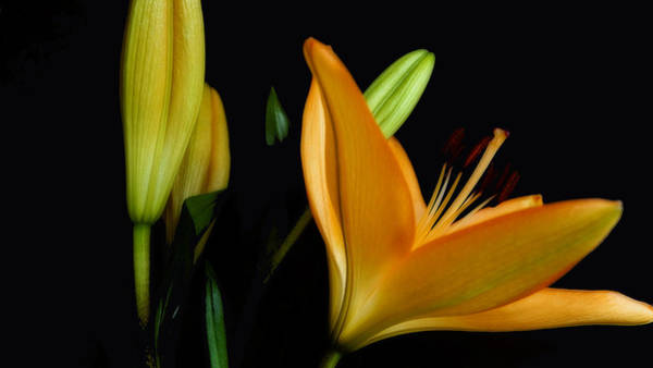 Photograph - Orange Lily Three by Beth Akerman