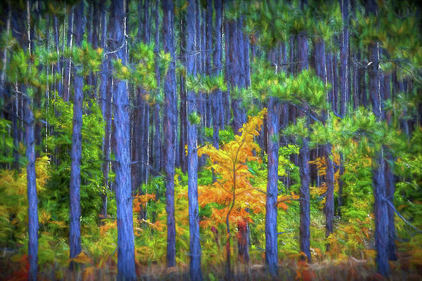 Photograph - Orange Maple Tree Among A Grove Of Pine Trees by Randall Nyhof