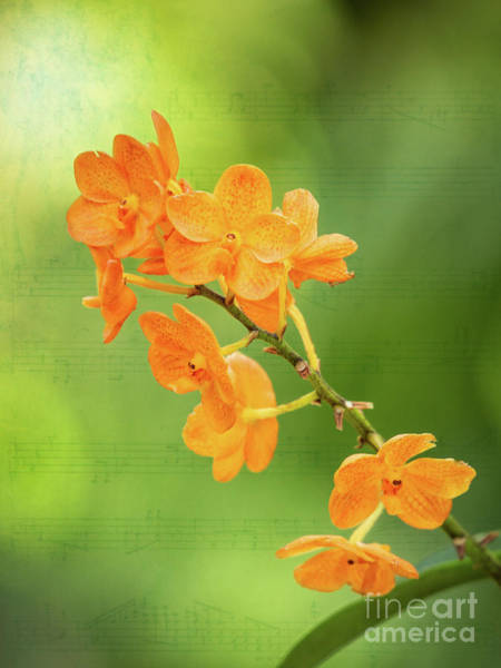 Photograph - Orange Orchid Melody by Sabrina L Ryan