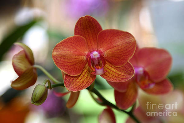 Photograph - Orange Orchid With Colorful Background by Carol Groenen