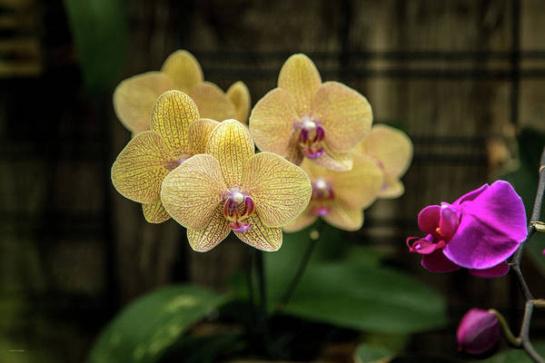 Photograph - Orange Orchids by Ross Henton