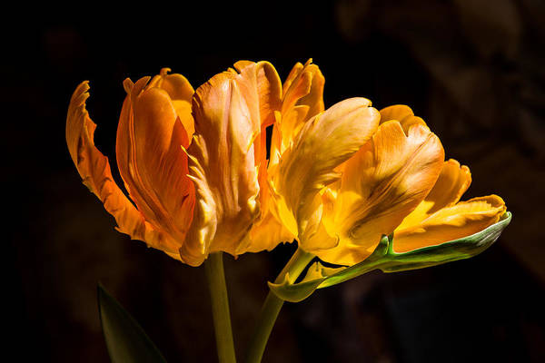 Botanica Photograph - Orange Parrot Tulips 1 by Fiona Craig