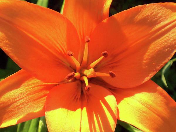 Photograph - Orange Pop by Cris Fulton