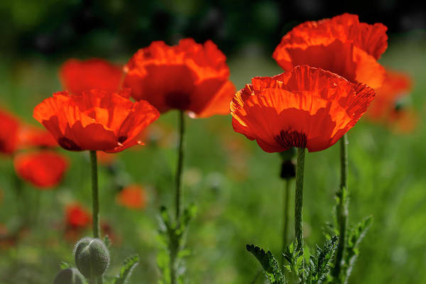 Photograph - Orange Poppies In The Sunshine by Teri Virbickis