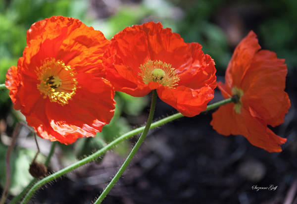 Wall Art - Photograph - Orange Poppy Triplet by Suzanne Gaff