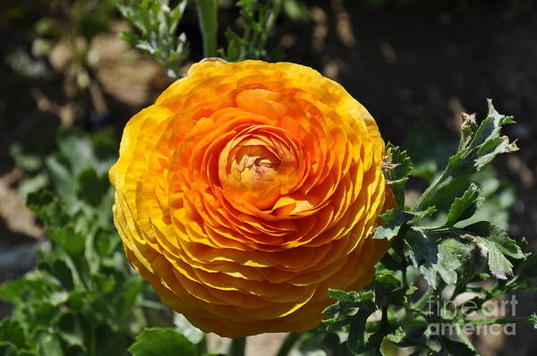 Photograph - Orange Ranunculus by Bridgette Gomes