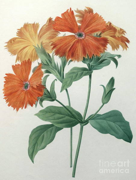 Wall Art - Painting - Orange Rose Campion by Pierre Joseph Redoute