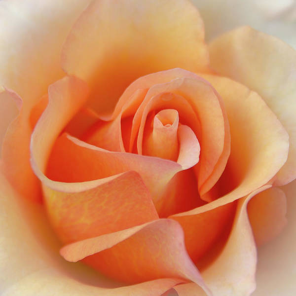 Photograph - Orange Rose Center by Patti Deters