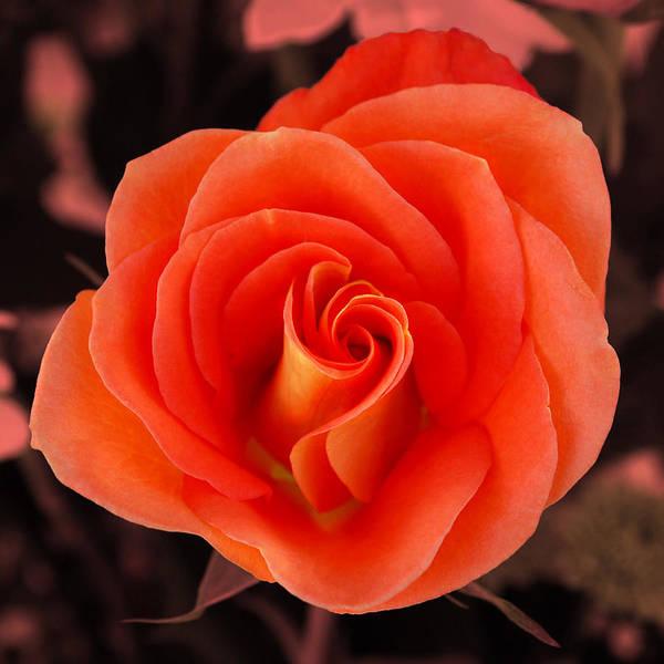 Photograph - Orange Rose by Howard Bagley