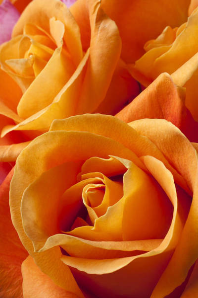Fragrance Photograph - Orange Roses by Garry Gay