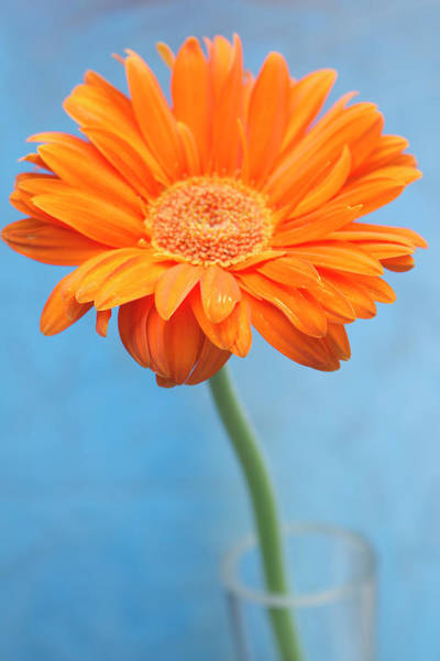 Canada Photograph - Orange Slanted Gerbera by Photography by Gordana Adamovic Mladenovic