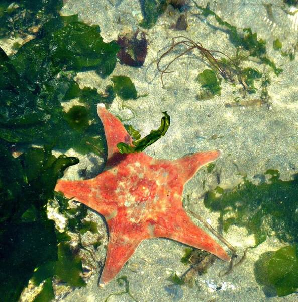 Photograph - Starfish In Water by 'REA' Gallery
