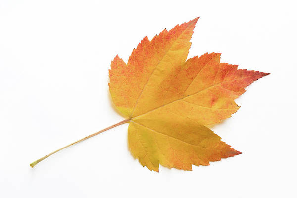Acer Saccharum Photograph - Orange Sugar Maple Leaf On White Background by Michael Russell