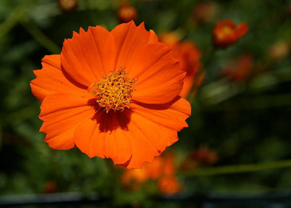 Photograph - Orange Sulfur Cosmos Flower by Debi Dalio