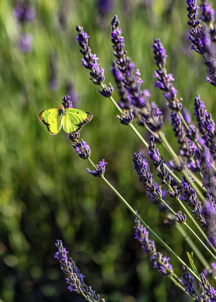 Photograph - Orange Sulfur N Lavender by Rod Best