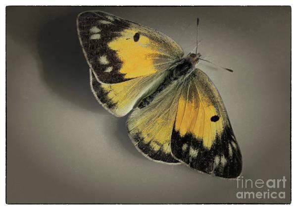 Photograph - Orange Sulphur Butterfly On Brown With Border by Karen Adams