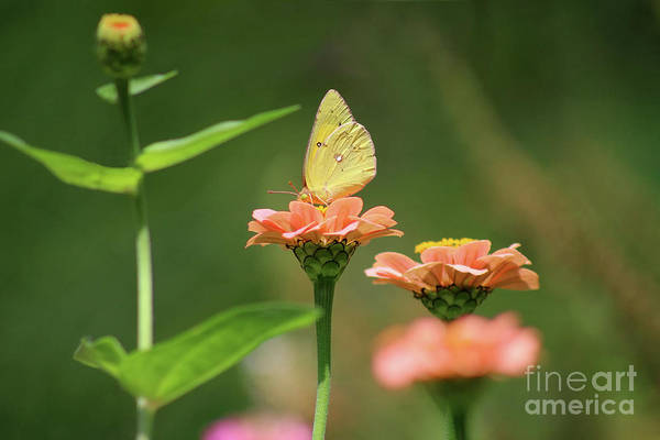 Photograph - Orange Sulphur Butterfly On Orange Zinnia by Karen Adams
