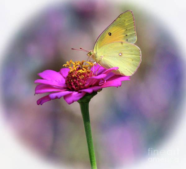 Photograph - Orange Sulphur Butterfly Pastel Halo by Karen Adams