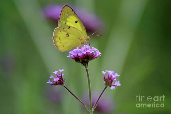 Photograph - Orange Sulphur Butterfly Tahdah by Karen Adams