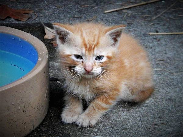 Photograph - Orange Tabby Shorthair Kitten by Ken Bradford