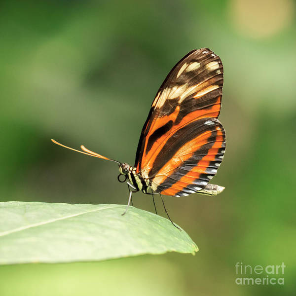 Wall Art - Photograph - Orange Tiger Butterfly by Lucid Mood