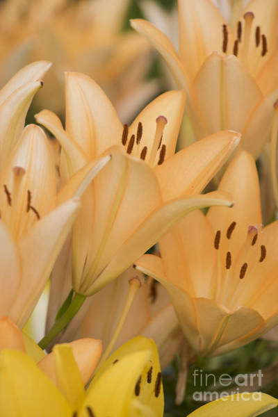 Botanic Photograph - Orange Tiger Lillies by Juli Scalzi